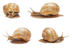 Snail isolated. Garden snail isolated on white background. Set of snails Royalty Free Stock Image