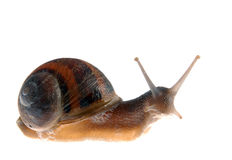 Snail isolated over white Stock Image