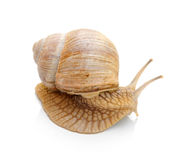 Snail isolated Royalty Free Stock Photography