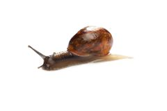 Snail isolated on white Stock Image