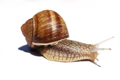 Snail isolated on white. Close-up on a snail isolated on white Royalty Free Stock Photo