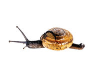 Snail isolated Stock Image