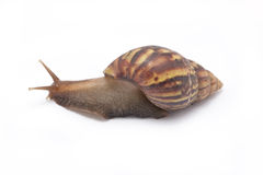 Snail. Stock Images