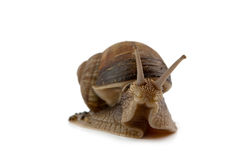 Snail isolated Royalty Free Stock Images