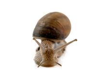 Snail isolated Stock Images