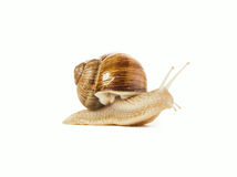 Snail isolated Stock Photo