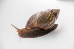 Snail. Isolated on white background Royalty Free Stock Photo