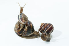 Snail isolated on white background. Close-up view Royalty Free Stock Images