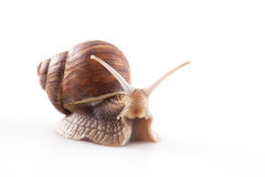 Snail isolated on white background Royalty Free Stock Photos