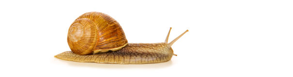 Snail isolated on white. Royalty Free Stock Image