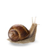Snail isolated on white background Stock Images