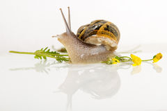 Snail isolated on white . Stock Image