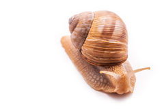 Snail isolated on white Stock Images