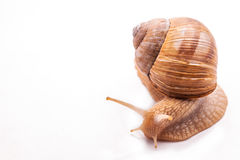 Snail isolated on white Stock Photography