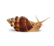 Snail isolated on white , with path Royalty Free Stock Images
