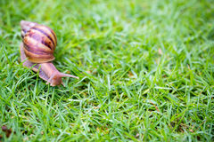 A snail with its shell house moving Slowly on green grass. Stock Photography