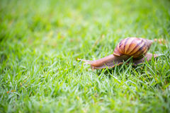 A snail with its shell house moving Slowly on green grass. Stock Photos