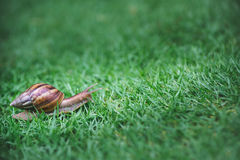A snail with its shell house moving Slowly on green grass. Stock Image