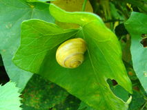 Snail on ivy leaf. Yellow snail on green ivy leaf Stock Images