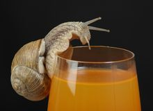 Snail on juice glass. A close up view of a large snail that has climbed up to the top of a glass full of juice and is looking into the juice.  Isolated on a Stock Photos