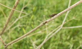 Snail-killing Fly on dry sticks at meadow. A Snail-killing or Marsh Fly, Pherbellia, sits on some dry branches at mediterranean meadow in southern Europe during Royalty Free Stock Image