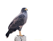 Snail Kite Stock Photos