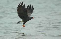 A Snail Kite stock photos