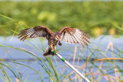 Snail Kite. Adult Female Snail Kite At Perch With Apple Snail And Wings Spread Stock Photos