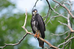 Snail Kite Royalty Free Stock Photos