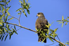 Snail Kite on a Branch Royalty Free Stock Photography