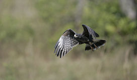 Snail kite, Rostrhamus sociabilis Royalty Free Stock Photography