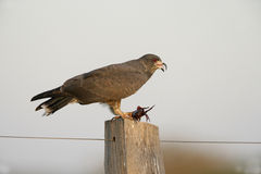 Snail kite, Rostrhamus sociabilis Royalty Free Stock Photo