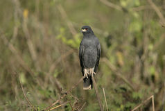 Snail kite, Rostrhamus sociabilis Royalty Free Stock Images