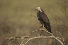 Snail kite, Rostrhamus sociabilis, Royalty Free Stock Images