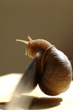 Snail on knife. A snail on sharp knife royalty free stock photos