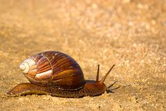 Snail. In Kruger National Park, South Africa Stock Image