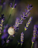 Snail on Lavender. A closeup view of a snail on lavender flowers stock images