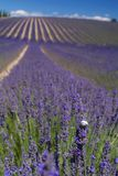 Snail in a lavender field. A field of lavender and clouds in Valensole, in the south of France Royalty Free Stock Photography