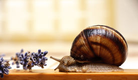 Snail and lavender Stock Images
