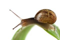 Snail on leaf Royalty Free Stock Photos