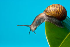Snail on leaf Stock Image