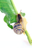 Snail on leaf Stock Photos