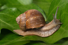 Snail on the leaf royalty free stock photo