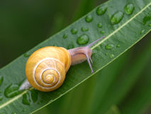 Snail on a leaf Stock Image
