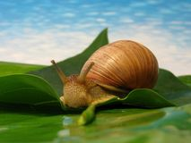 Snail on a leaf. Snail on a green leaf Royalty Free Stock Image