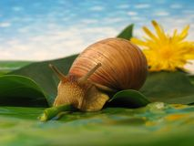 Snail on a leaf. Over blue sky and flower Royalty Free Stock Photo
