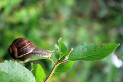 Snail on leaf Royalty Free Stock Images