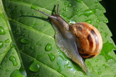 Snail on leaf Stock Images