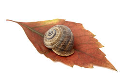 Snail in leaf. Snail taking a rest of his task on a leaf Stock Images