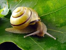 Snail on leaf Royalty Free Stock Photography